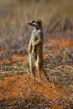 suricate Стоковое Изображение RF