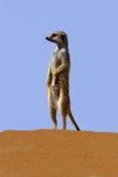 suricate Стоковое Изображение
