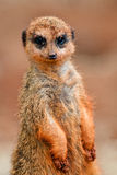 Suricate Stock Photos