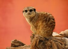Suricate. Royalty Free Stock Images
