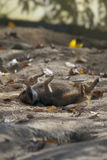 suricate Arkivbild