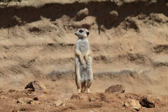Suricate Stock Photography