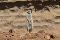 suricate Fotografia Stock