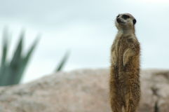 Suricate Photo stock