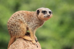 Suricate Royalty Free Stock Photos