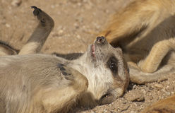 Suricate. The suricate or meerkat is a small lovely mammal Stock Image