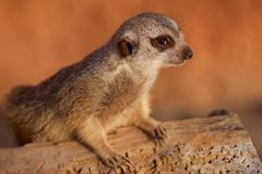 Suricate. Portrait of the suricate on a blurred background Stock Photos