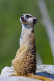 Suricate Stock Images
