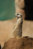 Suricate. Funny Meerkat at Sun City zoo. South Africa stock image