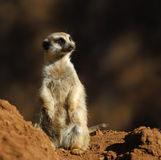 Suricate. Meerkat at Sun City zoo. South Africa stock images