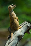 Suricate. Standing on a branch Royalty Free Stock Photo