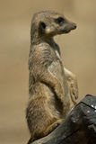 Suricate. Standing on a branch Royalty Free Stock Photos