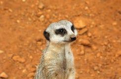 Suricate bonito do meerkat no protetor imagem de stock royalty free