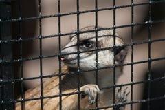 Suricate in Captivity Stock Photography
