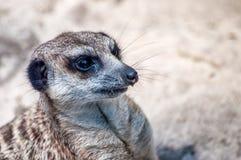 Suricate che esamina giusto i suoi amici animali con la sua ferita del naso, al parco zoologico fotografie stock