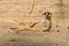Suricate che si riposa e che gode del sole di mattina Fotografia Stock Libera da Diritti