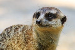 Suricate close-up. Suricate (Suricata suricatta) African mammal close-up Stock Photography