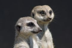 Suricate close up Stock Images