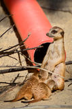 Suricate and cubs Royalty Free Stock Images