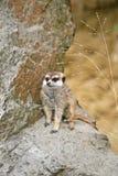 Suricate dans un zoo Photos libres de droits