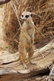 suricate de dispositif protecteur Image libre de droits