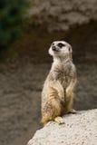 suricate debout Photos libres de droits