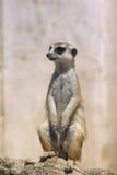 Suricate del suricata dell'erpeste di Meerkat Fotografie Stock Libere da Diritti