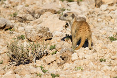 Suricate dig for food in desert sand during early morning sun Royalty Free Stock Images