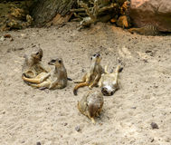 Suricate eller meerkatfamilj på den varma sanden Fotografering för Bildbyråer