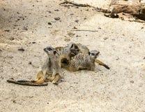 Suricate eller meerkatfamilj på den varma sanden Royaltyfria Foton