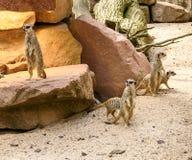 Suricate eller meerkatfamilj på den varma sanden Royaltyfri Foto