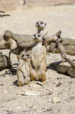Suricate family. With one baby suricate. Male and female looking attentively Stock Image