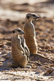 Suricate family standing in the early morning sun. Back lit looking for possible danger Royalty Free Stock Photo