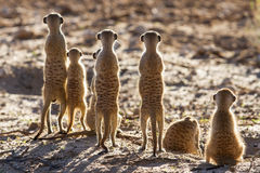 Suricate family standing in the early morning sun looking for po. Suricate family standing in the early morning sun back lit looking for possible danger Stock Photos