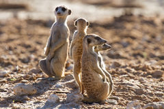Suricate family standing in the early morning sun looking for po. Suricate family standing in the early morning sun back lit looking for possible danger Royalty Free Stock Image