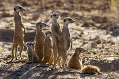 Suricate family standing in the early morning sun looking for po. Suricate family standing in the early morning sun back lit looking for possible danger Stock Images
