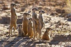 Suricate family standing near nest Stock Images