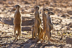 Suricate family standing near nest Royalty Free Stock Images