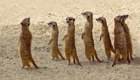 Suricate family standing near nest in sun Royalty Free Stock Photos