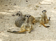 Suricate family on the warm sand Stock Image
