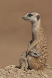 Suricate female with pup. Distribution focussed on low-rainfal areas of South Africa and Namibia; pale body color with several irregular transverse bands on the Stock Photos