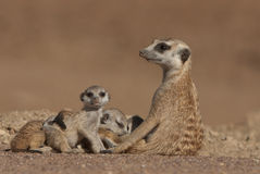 Suricate female and pups. Inhabitant of western South Africa and Namibia; pale body color with several irregular transverse bands on the back; thinly haired Royalty Free Stock Image