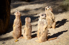 Suricate gang. Or clan is on the lookout royalty free stock photo