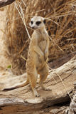 Suricate on guard Royalty Free Stock Image