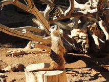 Suricate on guard Royalty Free Stock Photography