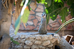 Suricate in Haifa Zoo Royalty Free Stock Image