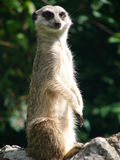 Suricate looking for enemies Stock Photo