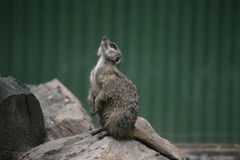 Suricate Royalty Free Stock Photo