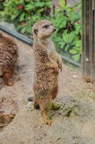 Suricate in Loro Parque, Tenerife, Canary Islands. Royalty Free Stock Image