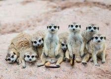 Suricate lub meerkat rodzina Zdjęcia Stock